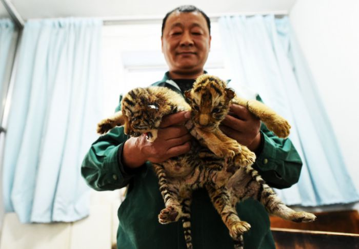 breeder holding two siberian tiger cubs