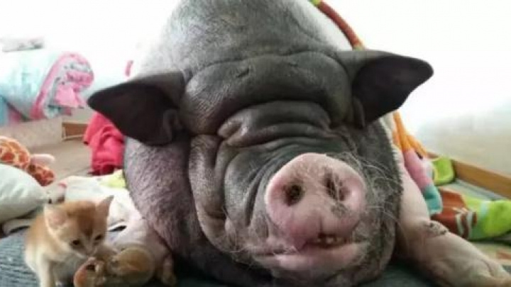 front view of a sleeping pig