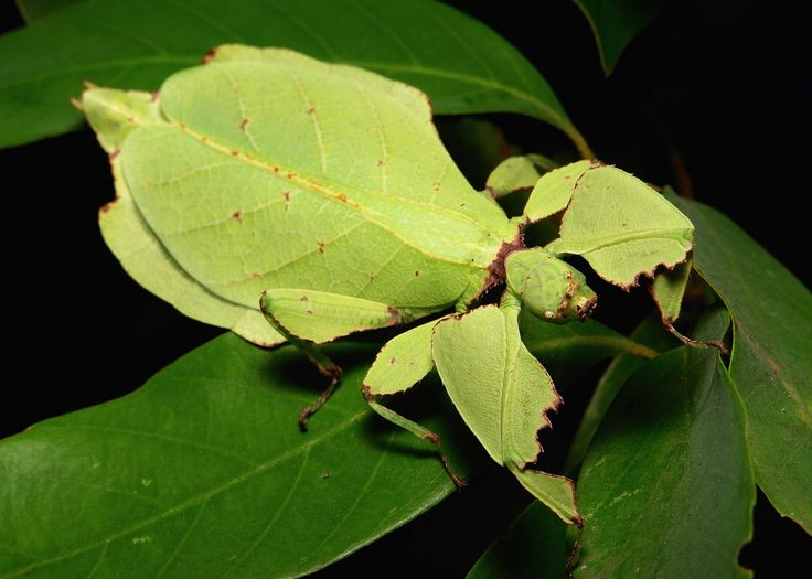close up of a leaf insect