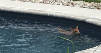 small deer in a swimming pool