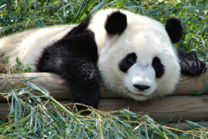Panda lies on tree balk surrounded by greenery