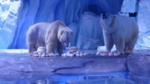 polar bear models in china