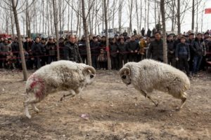 side view two rams fighting while chinese people watch in background