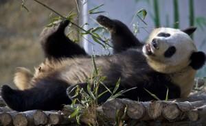 side view panda lying on it's back playing