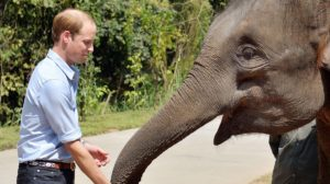 side view prince william feeding elephant at reserve in china