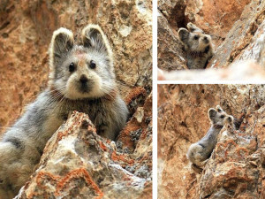 collaboration of endangered chinese rabbit