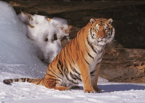 front view amur tiger in the snow