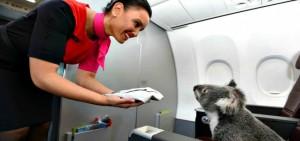 stewardess serving koala in first class on qantas flight