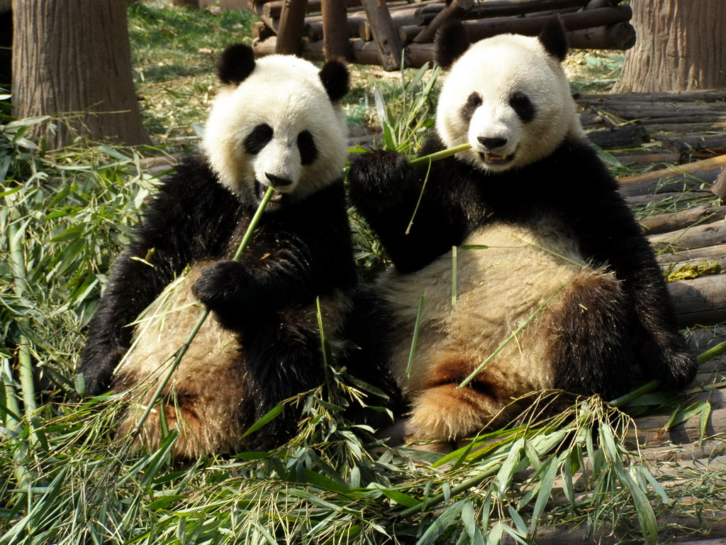 two pandas sitting next to each other eating