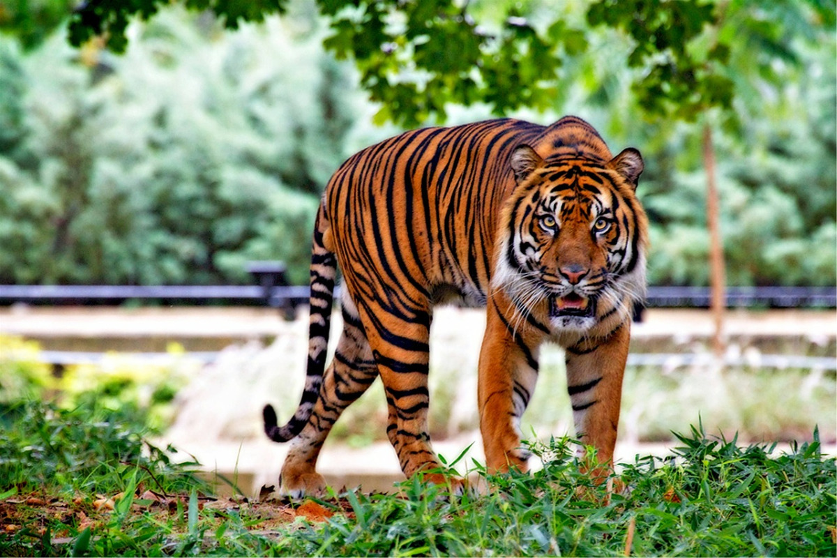 front view of a tiger