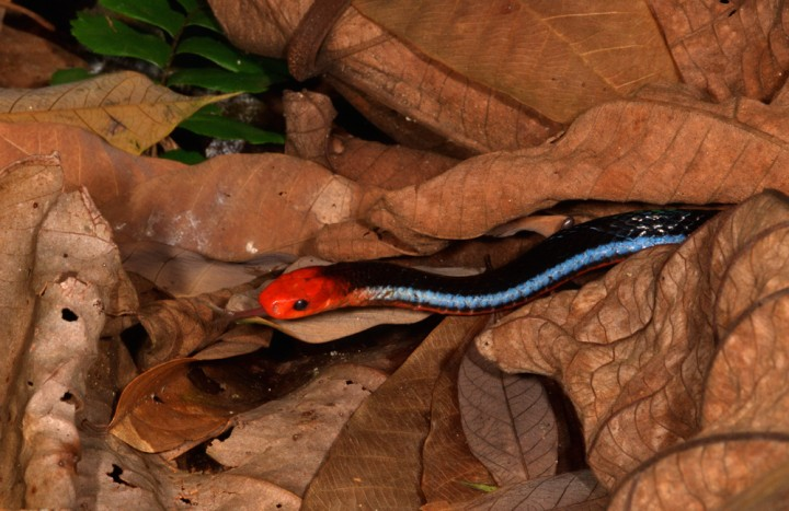 blue coral snake crawling through the leaves