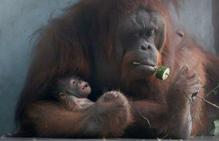 front view of an orangutan with her baby