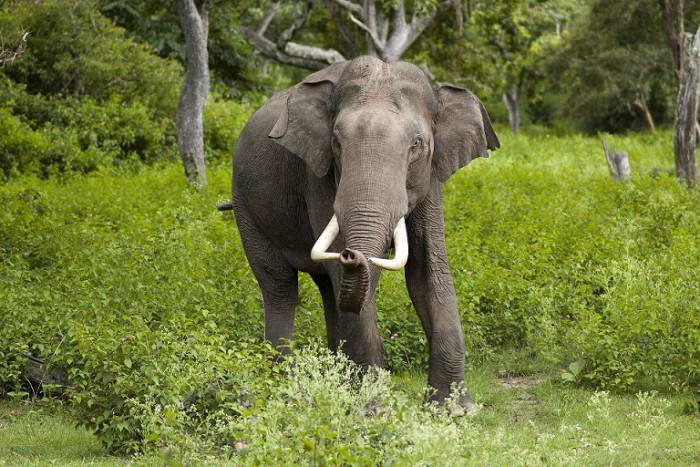 front view of a male wild asian elephant