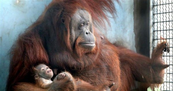 orangutan mother with her baby at shanghai zoo