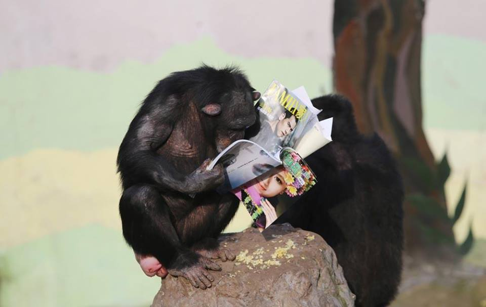 two chimps on a rock with magazines