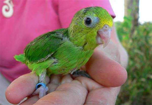 a baby green parrot in a woman's hand