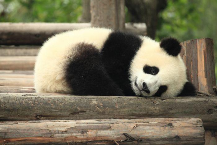 a panda lying down