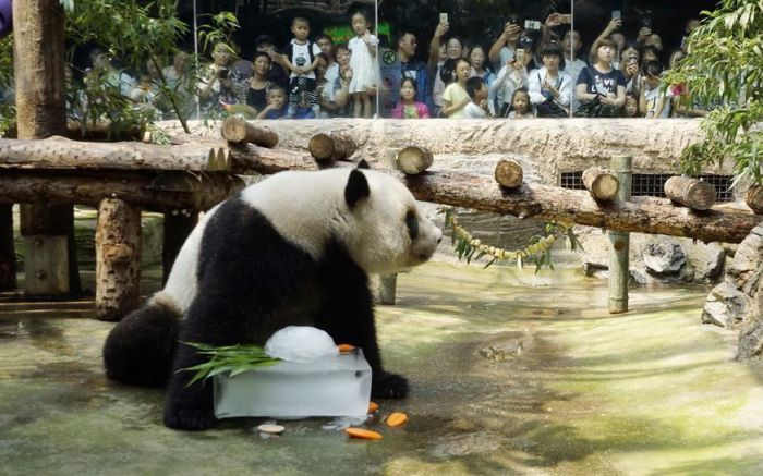 panda with ice block in summer heat at beijing zoo