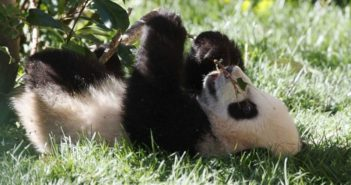 young panda lying on its back and eating