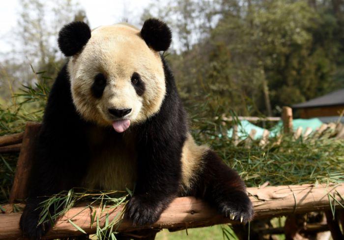 中国一只大熊猫过11岁生日