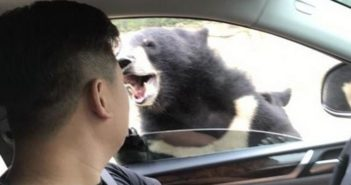 black bear outside a car with open window in china