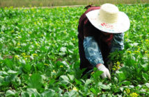 farm worker tending the vegetable crop