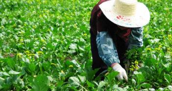 farm worker tending the vegetable crop