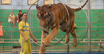 tiger jumping through hoops