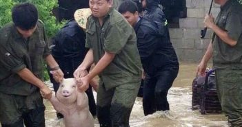 smiling pig being rescued in china