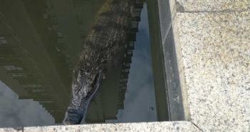 top view of crocodile in a pond