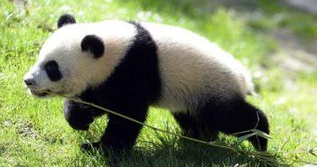 panda xing bao