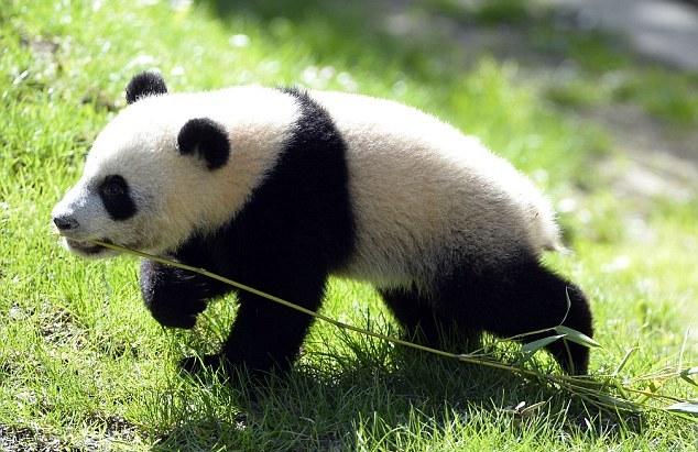 西班牙出生的大熊猫回到成都