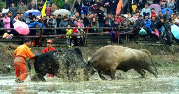 bullfighting in china
