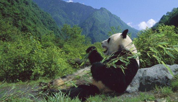 卫星图像显示大熊猫栖息地正在减少