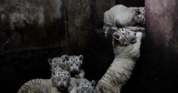 white tiger sextuplets born at yunnan zoo