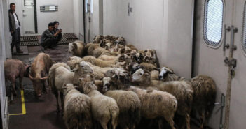 sheep on a train in china