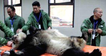 doctors treating sick panda