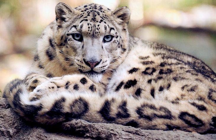 """雪豹不再""""濒危"""" 仍面临灭绝的风险"""