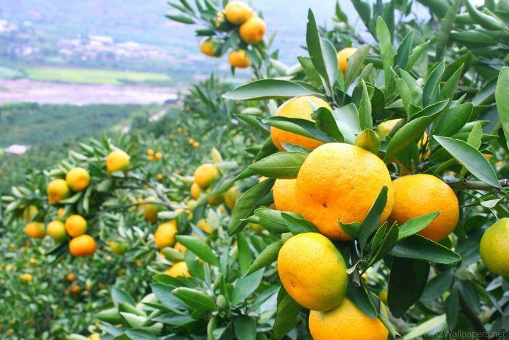 蜜桔产业帮助江西南丰人脱贫
