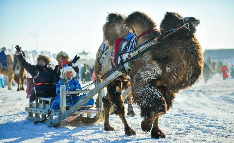 200多头骆驼参加内蒙古骆驼节活动