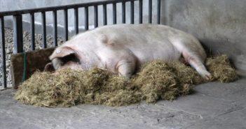 pig lying in hay