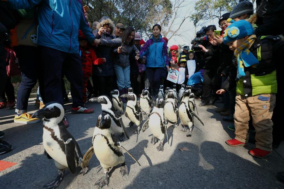 penguins taking a walk at shanghai zoo