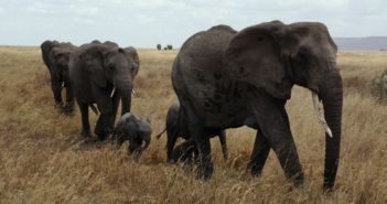 elephants in african plains