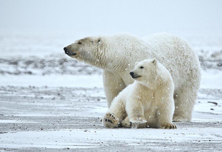 北极冰川融化 北极熊面临危机