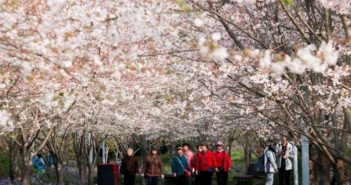cherry blossom at park in shanghai