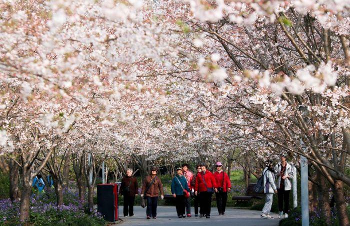 上海樱花节开幕