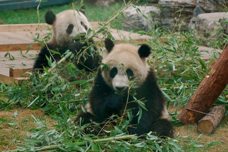 为什么大熊猫爱吃竹子?