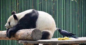 bird plucking hair from a panda