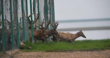 deer being released into wild