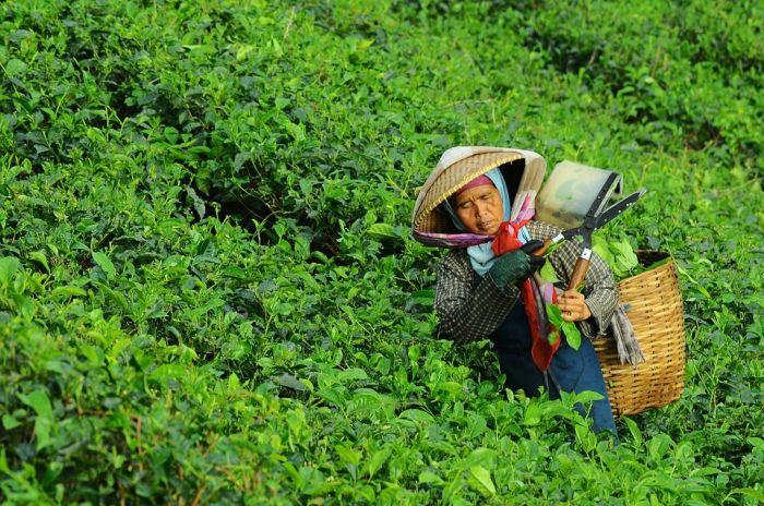 中国迎来采茶季